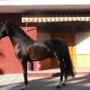 Продавам Андалузки кон – Бетел