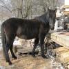 Планинска Каракачанска кобила
