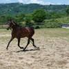 Продавам андалуска кобила