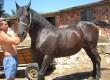 Продавам дунавска кобила буйна и красива!!!