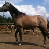 Продавам арабски кон