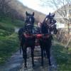 Продавам два коня-дунавци