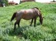 продавам бремена кобила