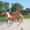 Перфектен жребец за всякакъв вид езда