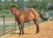 Продавам кобила порода холандска топлокръвна