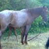Продавам кобила с жребче