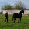 продавам мъжки кон