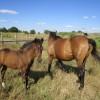 продавам дунавска кобила с конче