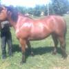 Продавам кобила  на 4 години