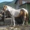 Продавам кобила на 1 год. и 8 месеца