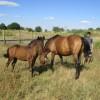 продавам дунавска кобила