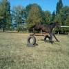 български спортен кон