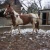 Продавам кобила на 5 години