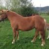 Продавам кобила с женско конче