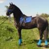 Фризийски коне