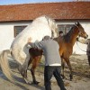 арабски чистокръвна кобила с конче