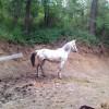 Продавам впрегатен кон, 1250 лв
