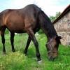 Спешно продавам ездитна кобила на 12 години
