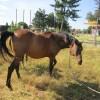 продавам кобила и конче