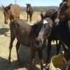 Каракачански коне