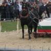 Продавам чистокръвен  Дунавски кон