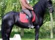 кобила (Черно Фризийски кон) Монтана, търси нов дом!!!
