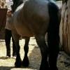 Продавам кобила белгийски тежковоз