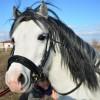 Бяло приказно испанско пони