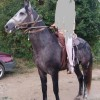 Коня е 4 годишен, 1,65 висок, 150лв. за разплод.