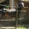 Чистокръвен английски кон