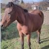 Работна кобила – здрава, послушна, впрегателна
