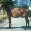 Продавам спортна кобила Демея – Източнобългарска