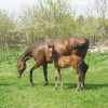 кобила  с жребче