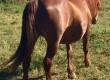 Кобила за впряг и езда
