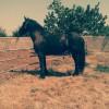 Продавам Фризийски кон