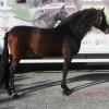 Феномено – Андалузки кон