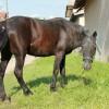 Продавам монголско пони