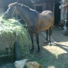 продавам кобила с конче