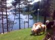 Продавам шотландски понита