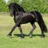 Тъся да закупя два коня  Фризийски