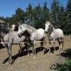 Чистокръвни арабски кончета