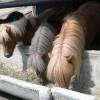 Продавам холандски понита